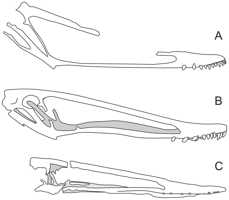 Istiodactylid skulls