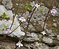 Ivy-leaved Toadflax. Cymbalaria muralis (48365262626).jpg