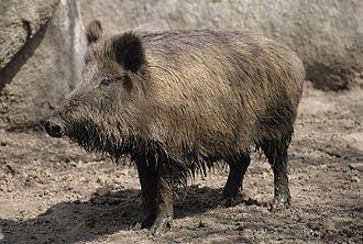 Wild boar - 150 px