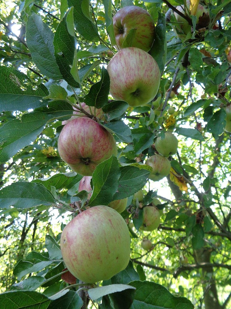 Jabuka stark deli%C5%A1es u dozrijevanju