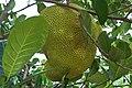 Jackfruit in the wild, Koh Chang, Thailand.jpg