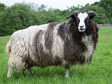 Photograph of a Jacob ewe in full fleece