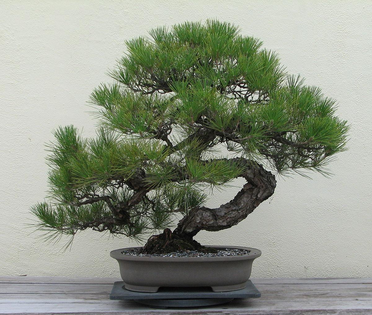Bonsai Wikipedia