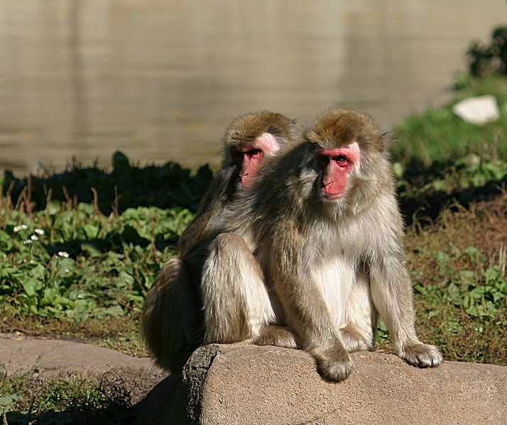 File:Japanese Macaque.jpg