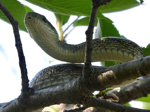 Japanese rat snake on the tree - 3