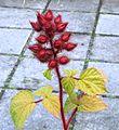 Japanse wijnbes (Rubus phoenicolasius) Locatie, Tuinen van Mien Ruys.jpg