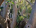 Jardins del Poble (Palaia Anaktora), arbre, Corfú.JPG