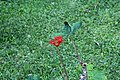 Jatropha podagrica 18zz.jpg