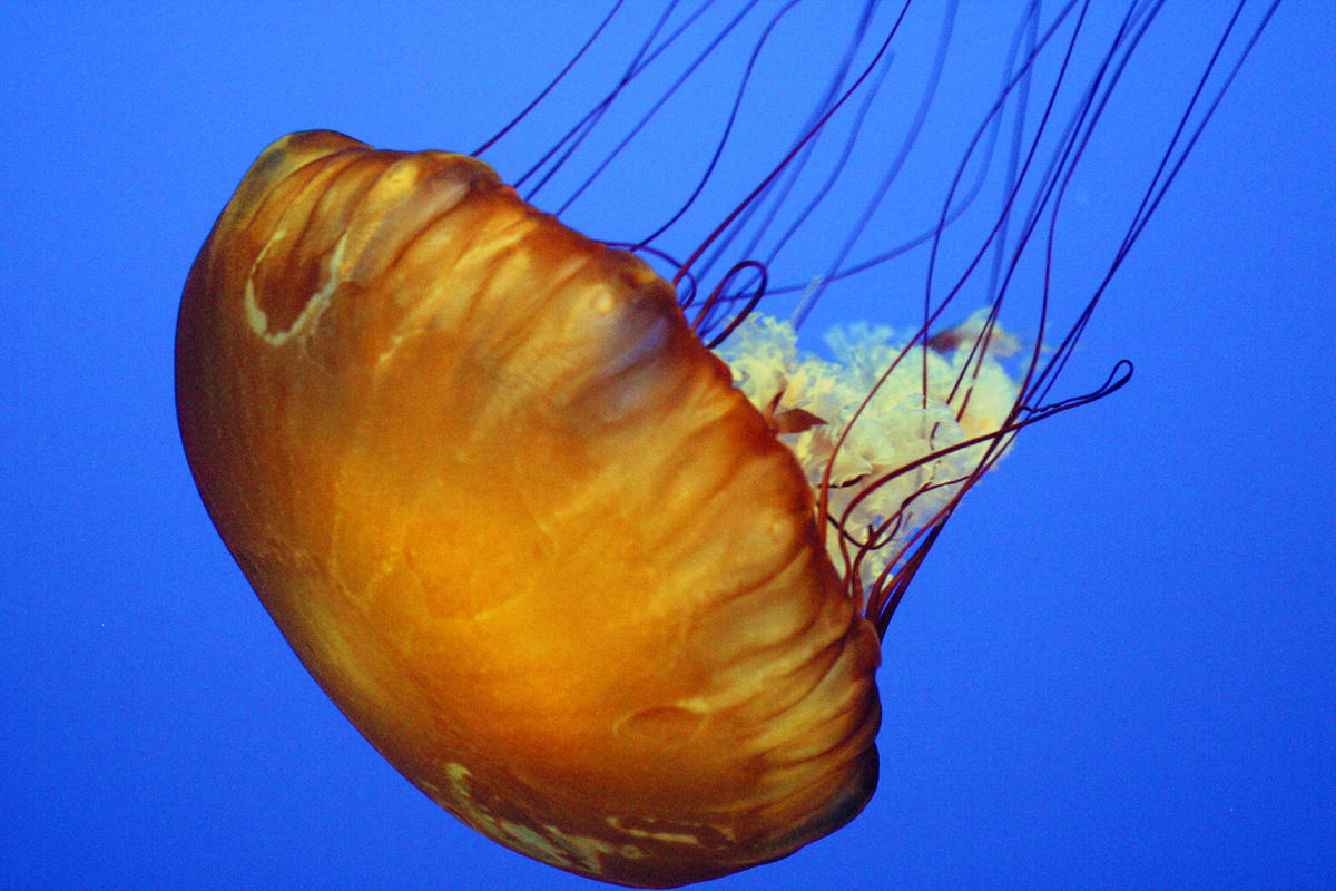 Jellyfish - Simple English Wikipedia, the free encyclopedia
