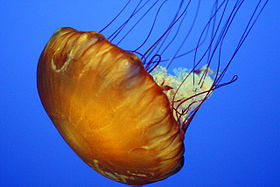 Pacific sea nettle, Chrysaora fuscescens, endemic to the west coast of North America.