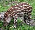 Jeune tapir au zoo de Hambourg.jpg