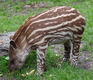 South American tapir - A calf of South American tapir