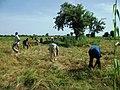 Jeunes du village aidant une famille pour la moisson du fonio (Mali) 3.jpg