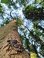 Jeypore ground gecko on tree (Cyrtodactylus jeyporensis).jpg