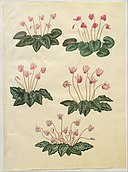 Johannes Simon Holtzbecher - Cyclamen purpurascens; Cyclamen hederifolium - Google Art Project.jpg