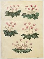 Cyclamen purpurascens; Cyclamen hederifolium