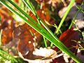 Juncus articulatus gliederung.jpeg