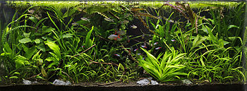 Aquarium densely filled with plants, some of which have rosettes of strap-like leaves, and the leaves are intertwined with one another. Some red and blue fishes of various sizes are swimming around.