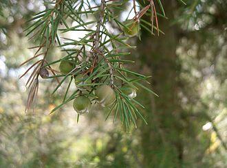 Juniperus rigida - Foliage and immature cones