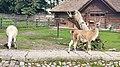 Kaliningrad Zoo - Guanacos.jpg