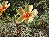 Kallstroemia grandiflora