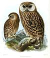 Keulemans Laughing Owl.jpg