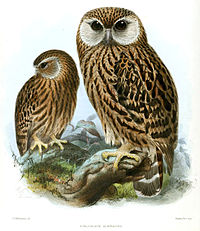 Keulemans Laughing Owl