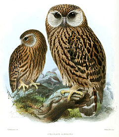 Keulemans Laughing Owl.jpg