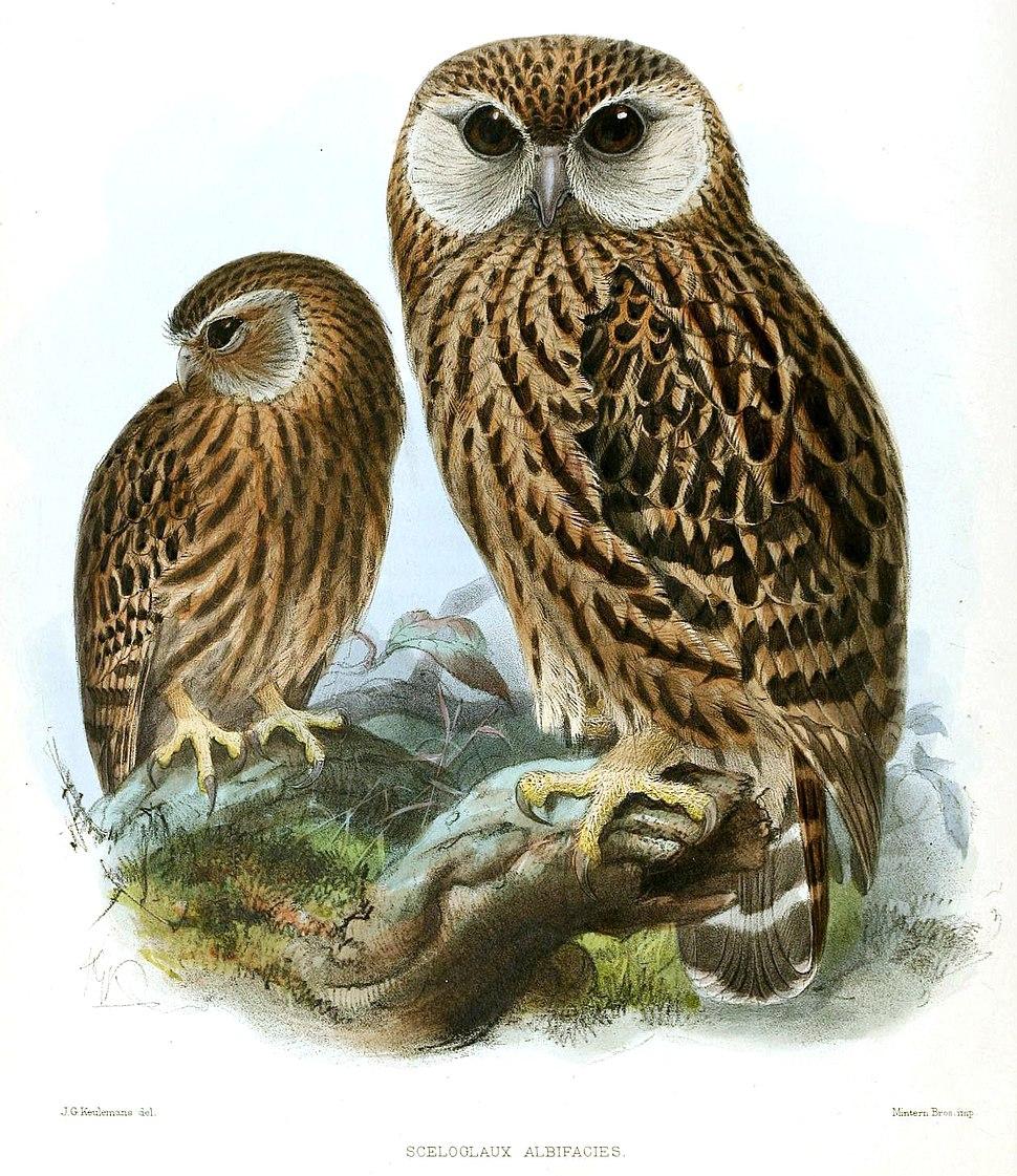 Keulemans Laughing Owl