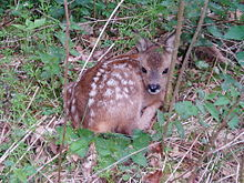 Cucciolo di capriolo nascosto nel sottobosco, il manto maculato (con punti chiari) favorisce il mimetismo.