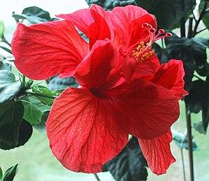 Hibiscus rosa-sinensis - Pollen parent