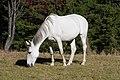 Konj na pasi - panoramio.jpg