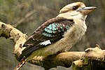 Kookaburra - Linton Zoo (16892995141).jpg