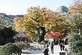 Korea-Buan County-Naesosa-Zelkova-01.jpg