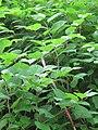 Korina 2011-05-20 Fallopia japonica.jpg