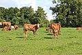 Kuehe Weide Cows Pasture.jpg