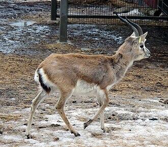 Goitered gazelle - Image: Kuhertajagaselli Korkeasaari