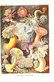 Kunstformen der Natur (Tafel 49) (6197840800).jpg