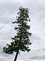 La Frande Fosse Gaspésie tree.jpg