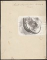 Lacerta stirpium - 1700-1880 - Print - Iconographia Zoologica - Special Collections University of Amsterdam - UBA01 IZ12400057.tif