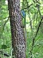 Lacerta viridis, Sićevačka klisura, Niš, Serbia (54).jpg