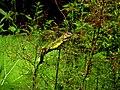 Lacerta viridis IMG 6725^.jpg