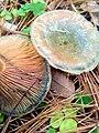 Lactarius deliciosus 96018378.jpg