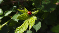Ladybug on leaf.png