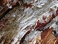 Laetiporus sulphureus mycelium.jpg