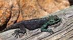 Lagarto (Agama atra), cabo de Buena Esparanza, Sudáfrica, 2018-07-23, DD 70.jpg