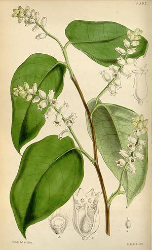 Lagetta lagetto - Image: Lagetta lintearia Curtis' 76 (Ser. 3 no. 6) pl. 4502 (1850)