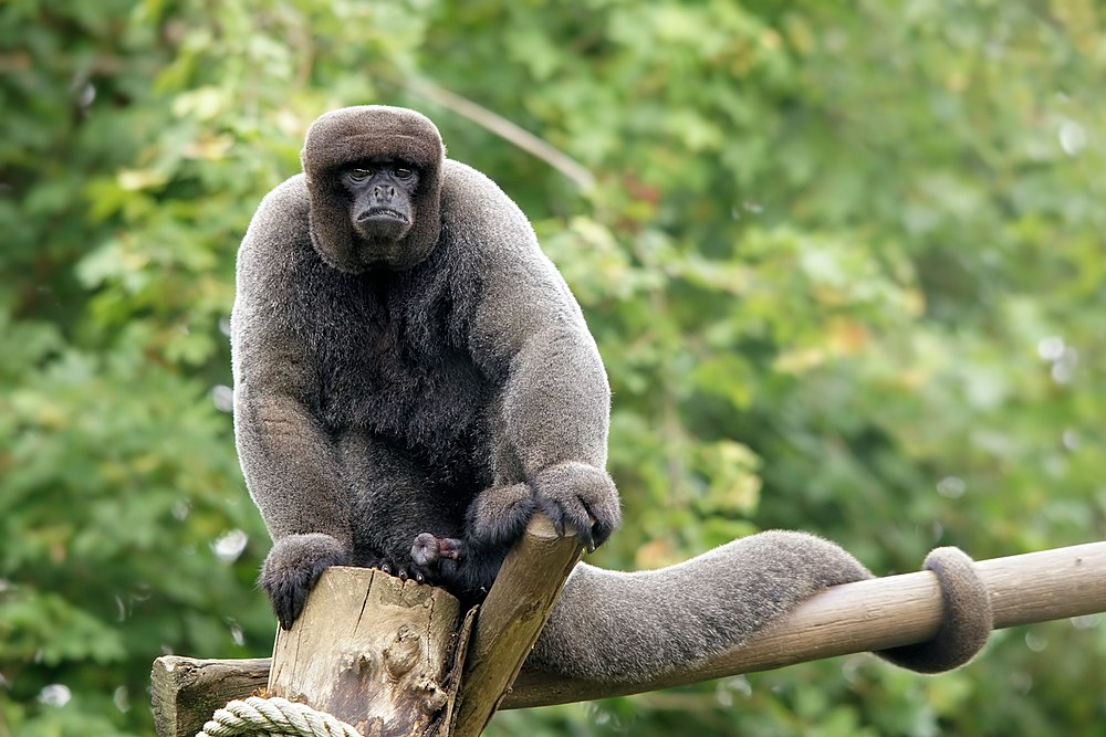 The average adult size of a Brown woolly monkey is  (1' 10