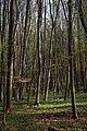 Lainzer Tiergarten März 2014 Buchenwald Bärlauch (Allium ursinum) 1.jpg