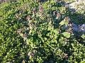 Lamium purpureum sl8.jpg